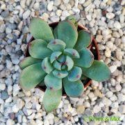 Echeveria colorata f. linsayana