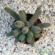 Echinopsis chamaecerius 'Yellow Bird'