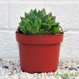 Haworthia cymbiformis from prick&mix