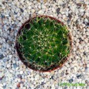 Mammillaria-decipiens-subs.-camptotricha-from-above