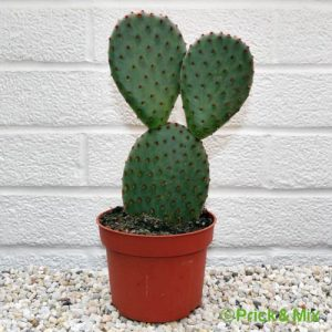 Opuntia microdasys from prick&mix